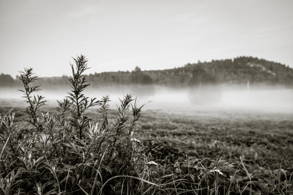 thistle and mist